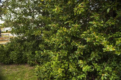 Hollyberry bush